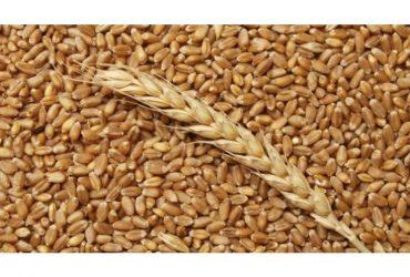 Продавам фуражна пшеница 10 т
