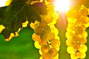 Продавам грозде – винени сортове – Мускат отонел,Каберне совиньон,Памид,Ркацители.