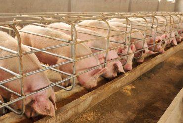 Лична: Лична: КУПУВАМ свинеферма